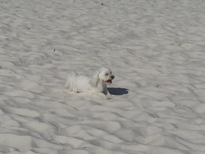 Lucy loving the sandy beaches of Florida