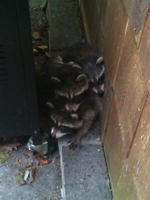Baby Racoons hiding behind BBQ
