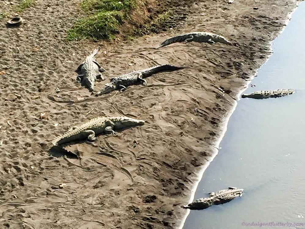 Crocodiles along Rio Tarcoles in Costa Rica