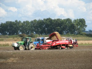 Harvesting  Potatoes in Ladner